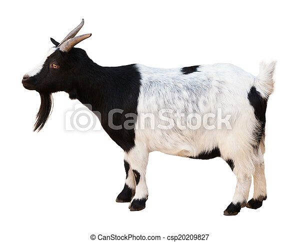Male goat. Isolated over white   - csp20209827
