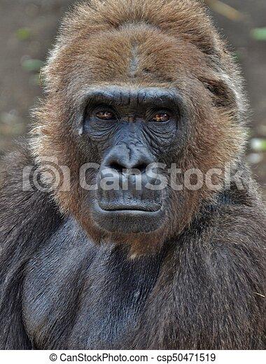 Male Gorilla - csp50471519