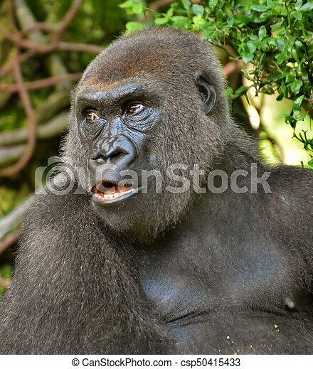 Male Gorilla Portrait - csp50415433
