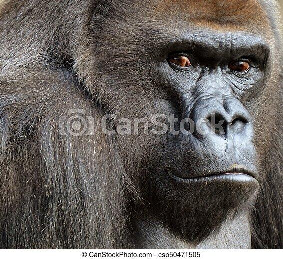 Male Gorilla - csp50471505