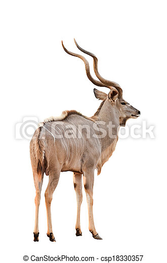 male greater kudu isolated - csp18330357