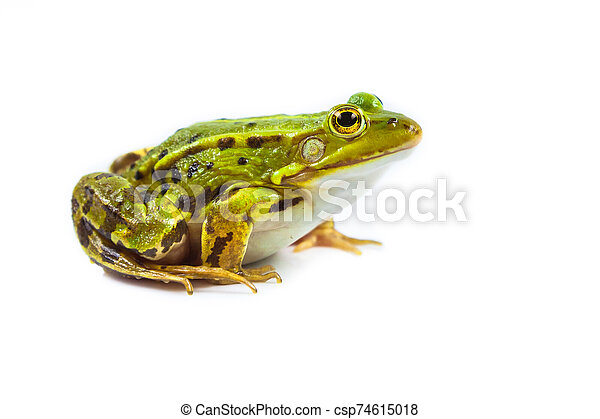 Male green Frog on white - csp74615018