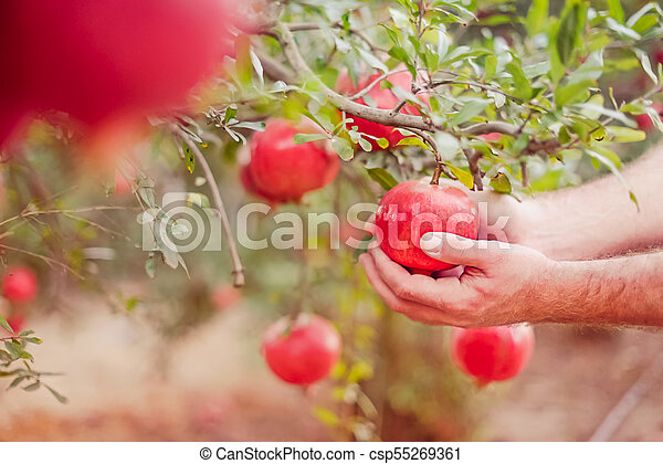 Male hand harvest a pomegranate fruit out of its tree in the garden. Sunset light. soft selective focus, space for text. - csp55269361