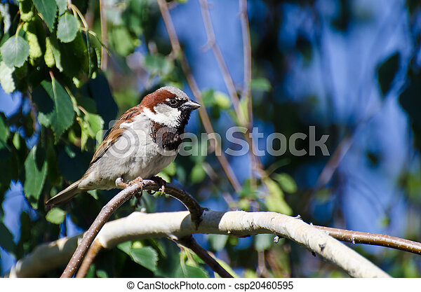 Male House Sparrow Perched on a Branch - csp20460595