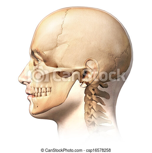 Male human head with skull in ghost effect, side view. anatomy image ...