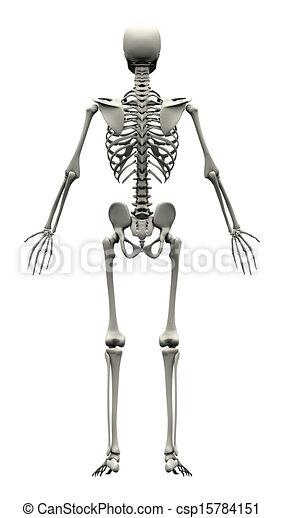 Male human skeleton - back view.