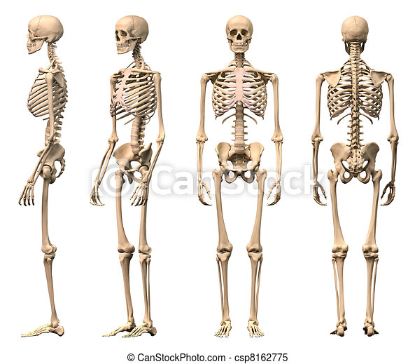 Male Human skeleton, four views, front, back, side and perspective. Scientifically correct, photorealistic 3-D rendering. Clipping path included. - csp8162775