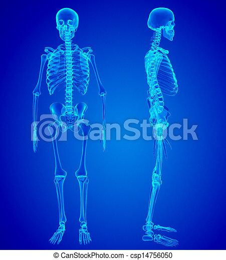 Male Human skeleton, two views - csp14756050