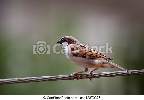 Male Indian sparrow - csp12870378