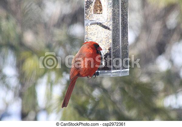 (male), kardinaal, noordelijk - csp2972361