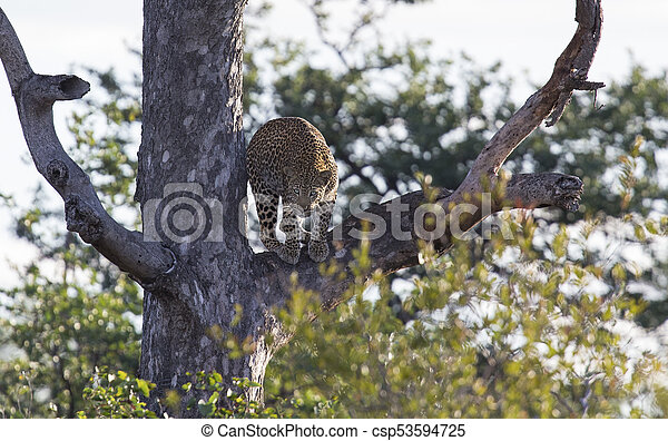 Male leopard standing high in a Maroela tree to look for prey - csp53594725