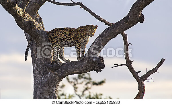 Male leopard standing high in a Maroela tree to look for prey - csp52125930
