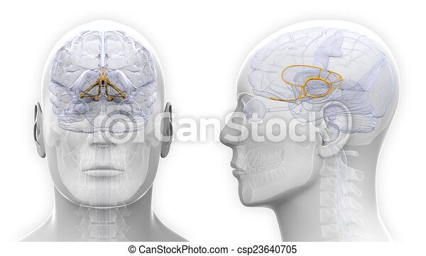 Male Limbic System Brain Anatomy Isolated On White