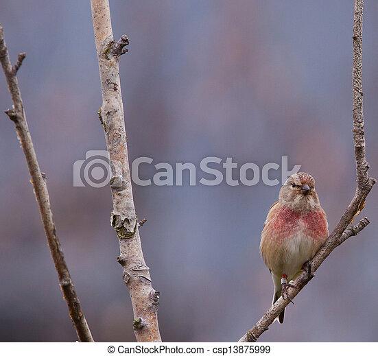 Male linnet in a tree - csp13875999