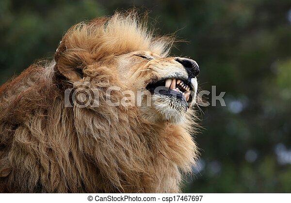Male Lion Grimace - csp17467697