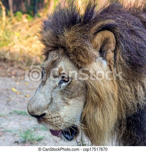 Male Lion - csp17517670