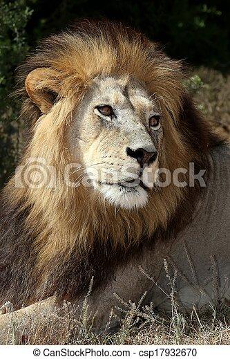 Male Lion - csp17932670