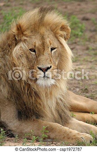 Male lion - csp1972787