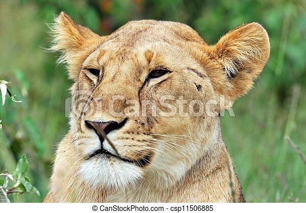 Male Lion - csp11506885
