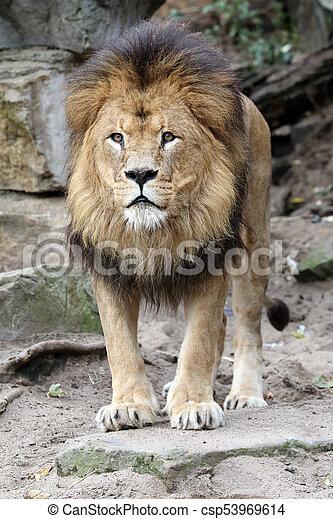 Male lion portrait - csp53969614