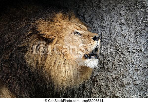 Male lion portrait - csp56006514