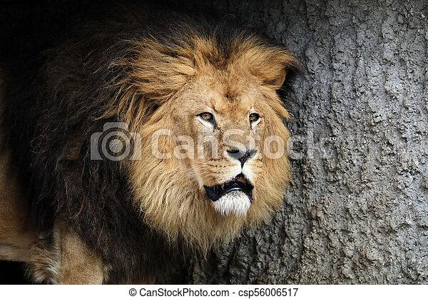 Male lion portrait - csp56006517