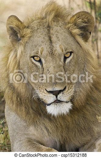 Male Lion portrait - csp15312188