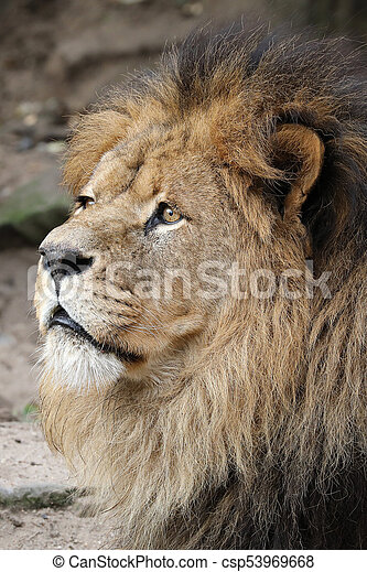 Male lion portrait - csp53969668