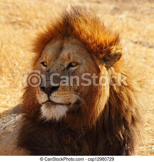 Male Lion Portrait - csp12980729