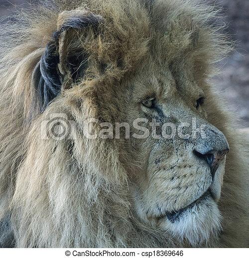 Male lion portrait - csp18369646