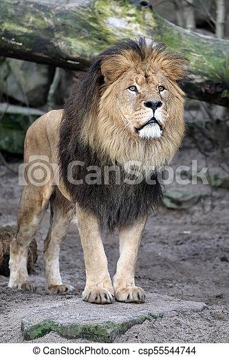 Male lion portrait - csp55544744