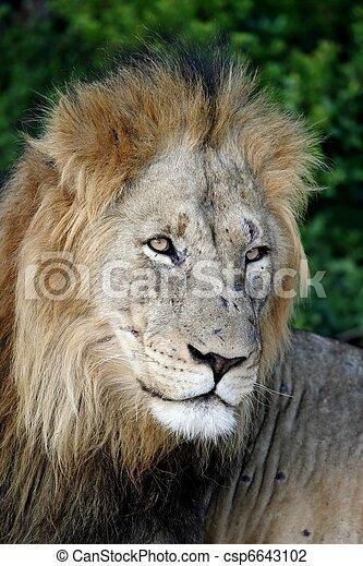 Male Lion Portrait - csp6643102