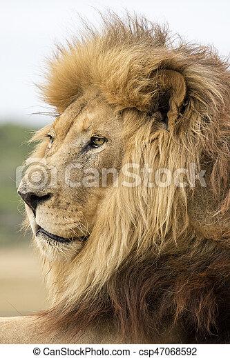 Male Lion Portrait - csp47068592