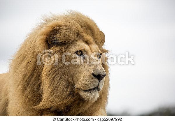 Male Lion Portrait - csp52697992