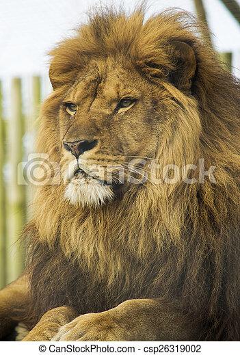 Male lion portrait - csp26319002