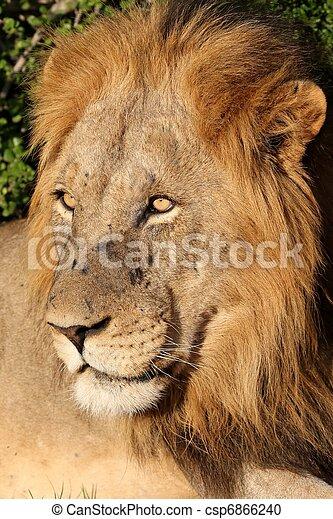 Male Lion Portrait - csp6866240