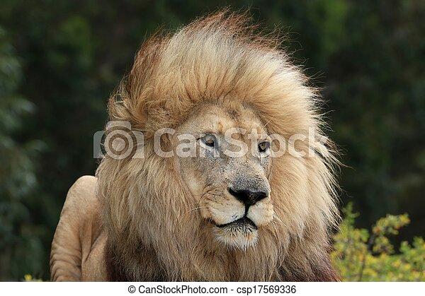 Male Lion Portrait - csp17569336