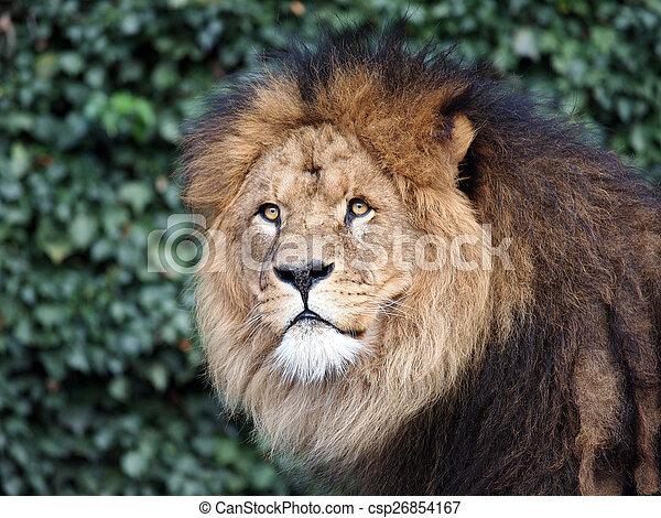 Male lion - csp26854167