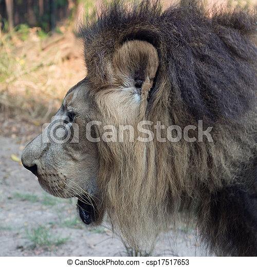 Male Lion - csp17517653