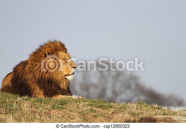 Male lion - csp12950323