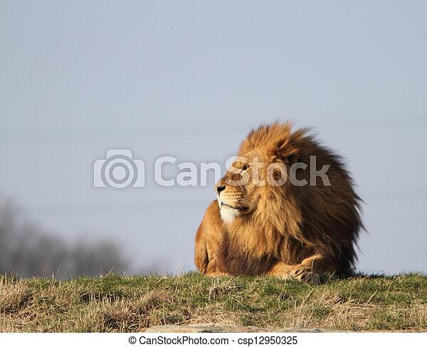 Male lion - csp12950325