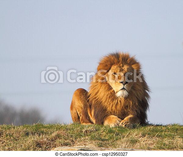 Male lion - csp12950327
