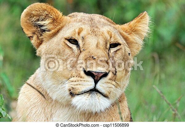 Male Lion - csp11506899