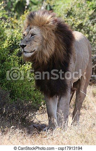 Male Lion - csp17913194