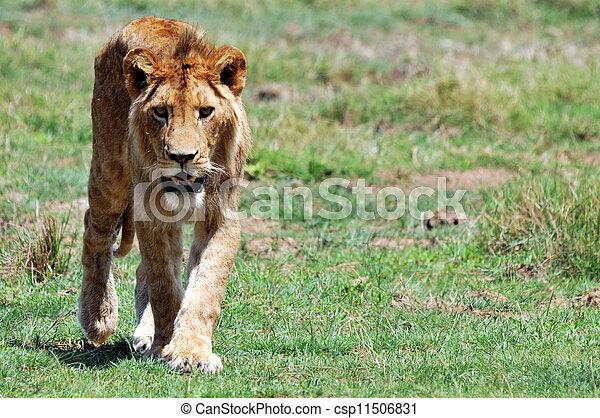 Male Lion - csp11506831