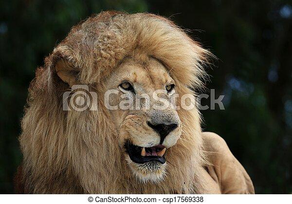 Male Lion - csp17569338