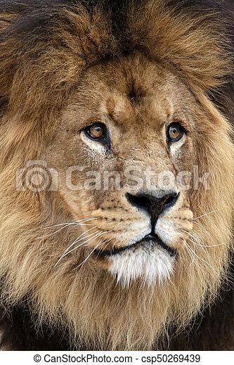 Male Lion - csp50269439