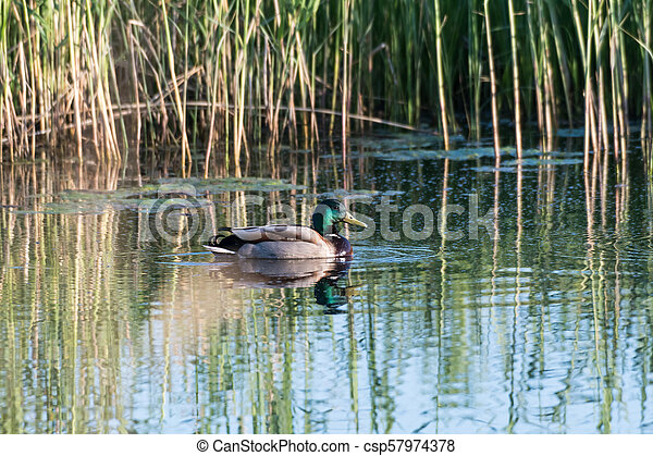 Male Mallard Duck in a pond - csp57974378