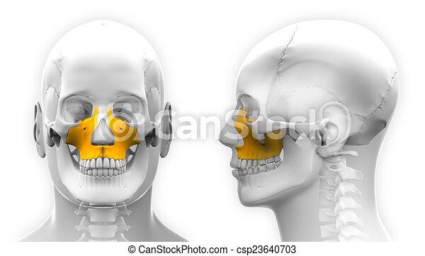 Male Maxilla Bone Skull Anatomy - isolated on white - csp23640703