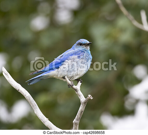 Male Mountain Bluebird Sitting On A Branch With A Green Leaf